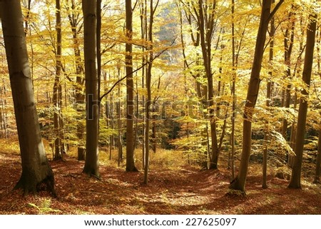 Autumnal beech forest lit by the morning sun. - stock photo