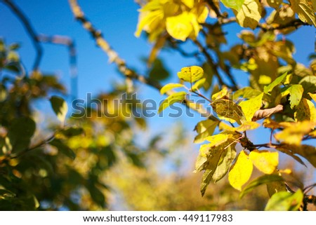 Autumnal bright yellow apple tree leaves and clear, blue skies - stock photo