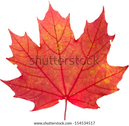 autumnal colorful leaves isolated - stock photo
