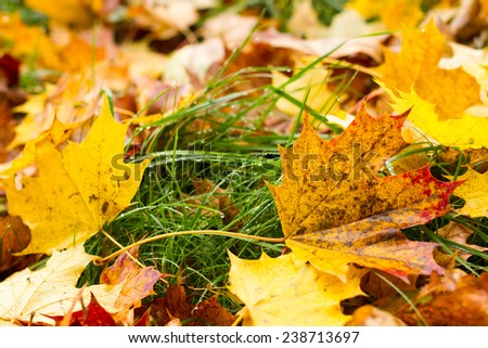 Autumnal colorful picture of maple leaves - stock photo