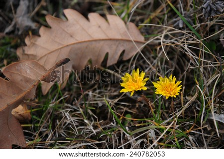 Autumnal dandelion flowers and fallen oak leaves  - stock photo