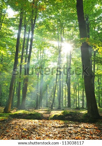 Autumnal dawn in old beech forest Poland - stock photo