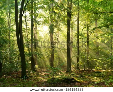 Autumnal dawn in old beech forest - Poland - stock photo