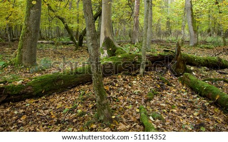 Autumnal landscape of deciduous stand with spruce tree stump and old oak trees in background moss wrapped - stock photo