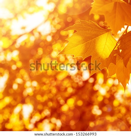 Autumnal leaves background, sunny day, old dry foliage in the park, weather changes, fall season, maple leaf, autumn nature - stock photo