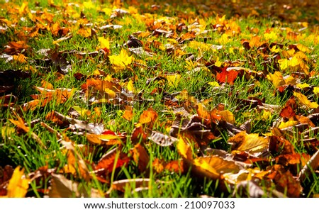 Autumnal leaves in the grass. Natural background. - stock photo