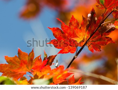 Autumnal leaves, red and yellow maple foliage against blue sky - stock photo