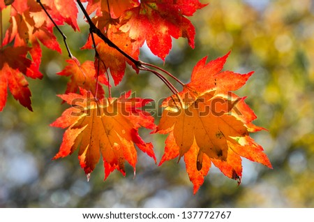Autumnal leaves, red and yellow maple foliage against green forest - stock photo