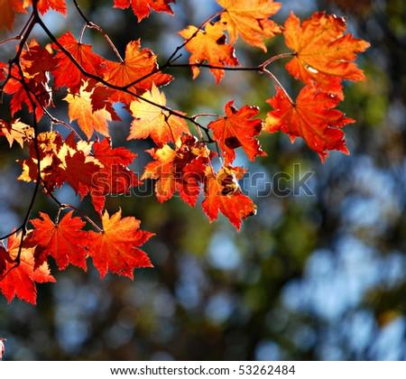 Autumnal maple, background - stock photo