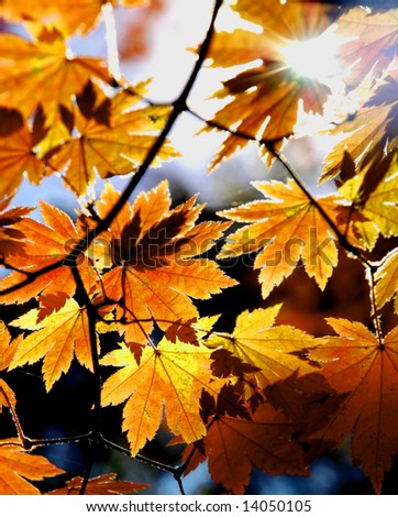 Autumnal maples - stock photo