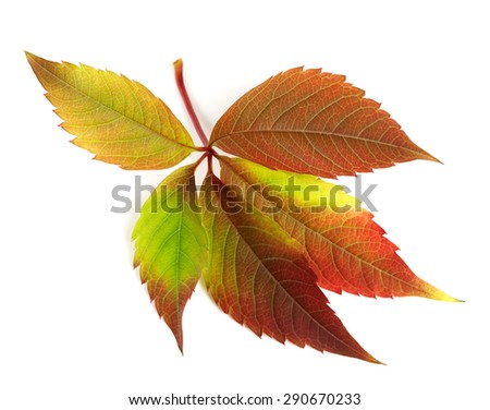 Autumnal multicolor grapes leaf (Parthenocissus quinquefolia foliage). Isolated on white background. - stock photo