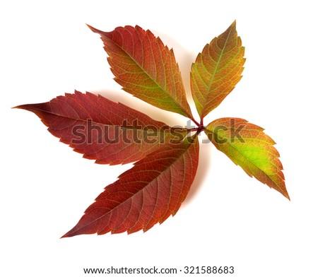 Autumnal multicolor grapes leaf (Parthenocissus quinquefolia foliage). Isolated on white background. - stock photo