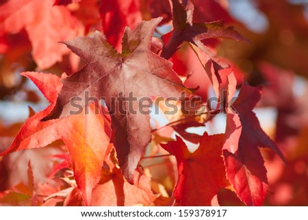 Autumnal red leaves - stock photo