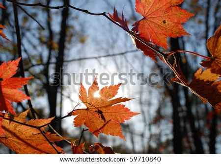 Autumnal red maple leaves, design element - stock photo