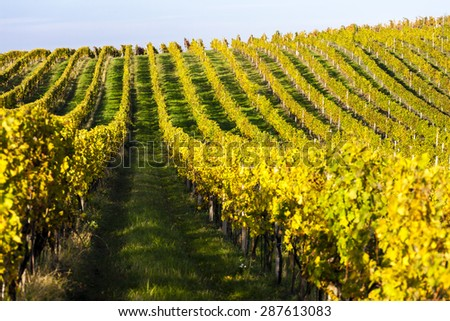 autumnal vineyard, Modre Hory, Czech Republic - stock photo