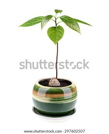Avocado plant isolated on white background - stock photo