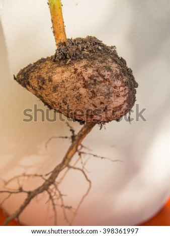 Avocado plant sprouting out of pit planted in houseplant pot - stock photo