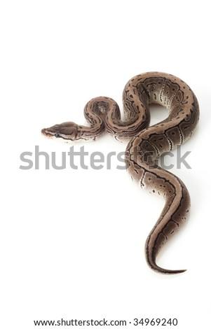 axanthic pinstripe ball python (Python regius) isolated on white background. - stock photo
