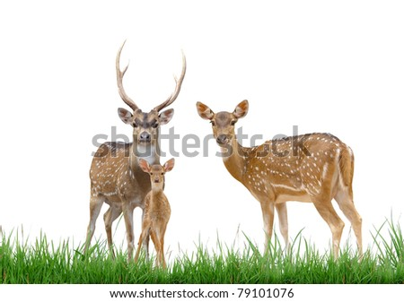 axis deer family with green grass isolated on white background - stock photo
