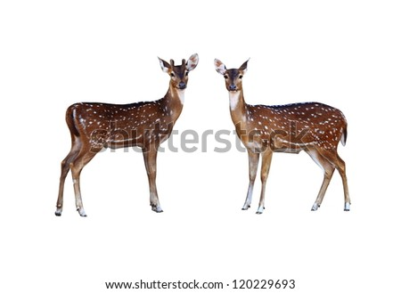 Axis deer on a white background. - stock photo