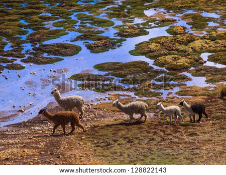 AYACUCHO, PERU: Alpacas in natural place, in the peruvian andes. - stock photo