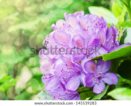 Azalea. Blooming Purple Rhododendron close-up - stock photo