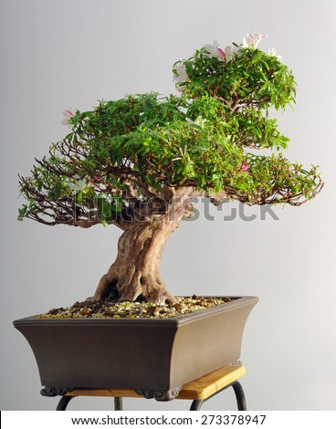 azalea bonsai in the spring after blooming and partial pruning - stock photo