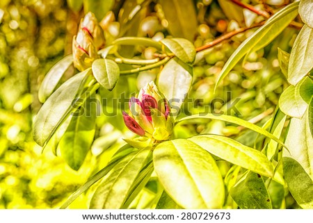 Azalea bud in sunny spring garden and green leaves  Closeup blossoming magenta rhododendron buds, image is filtered for vintage effect, perfect for gardening blog - stock photo