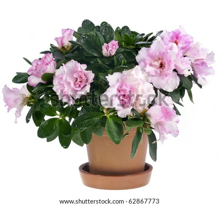 azalea flower in the pot isolated on white - stock photo