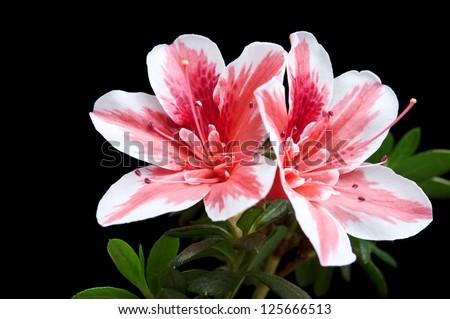 azalea flower isolated on black background - stock photo