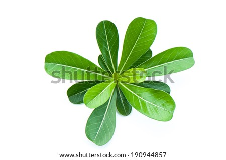 Azalea leaf Isolated - stock photo