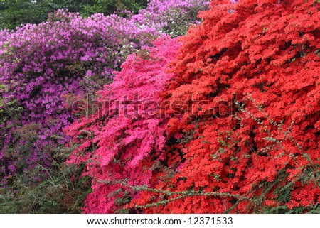 Azalea Rhododendron flowers in the garden - stock photo