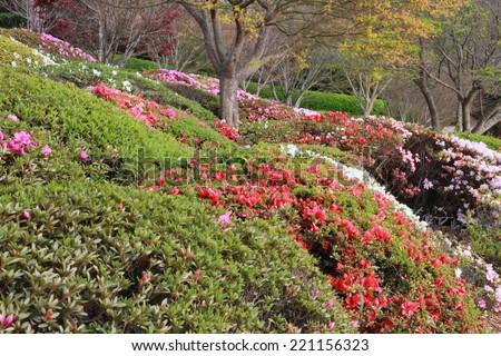 Azaleas in Japanese gardens toowoomba carnival of flowers  - stock photo