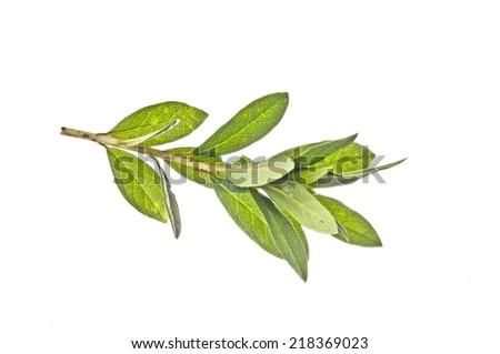 Azalia  leaf  - stock photo