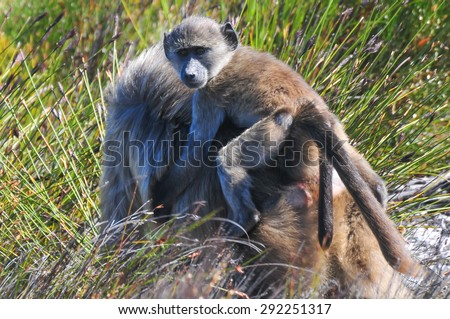 Baboon and its young in the Cape of Good Hope, South Africa. - stock photo