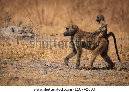 Baboon baby riding on it's mother's back - stock photo