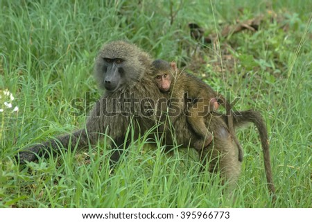 Baboon female with son  in game reserve park, Tanzania - stock photo