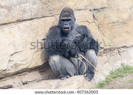 Baboon, gorilla - stock photo