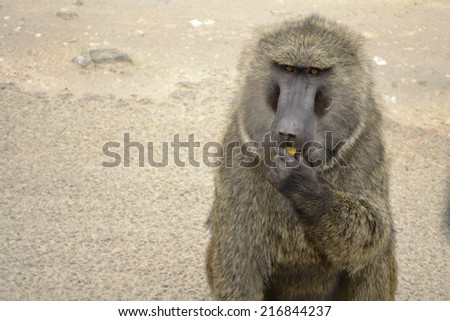 baboon in the african bush - stock photo