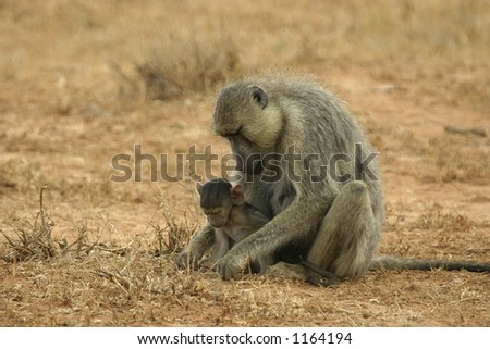 baboon infant watching mom feeding - stock photo