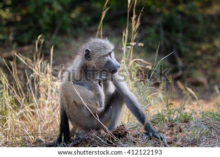 Baboon, Kruger safari park in South Africa  - stock photo
