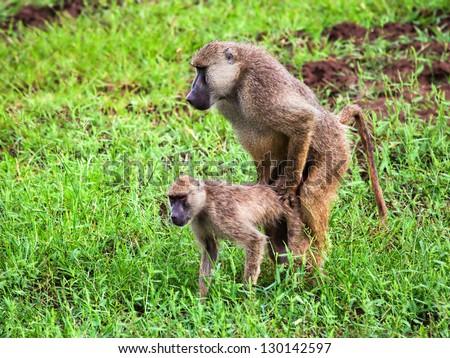 Baboon monkeys during copulation. Safari in Tsavo West, Kenya, Africa - stock photo