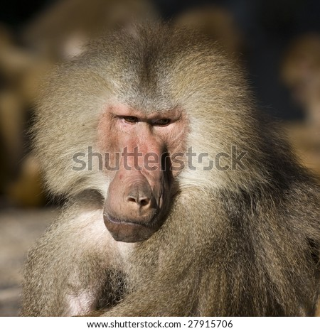 Baboon (Papio hamadryas) - stock photo