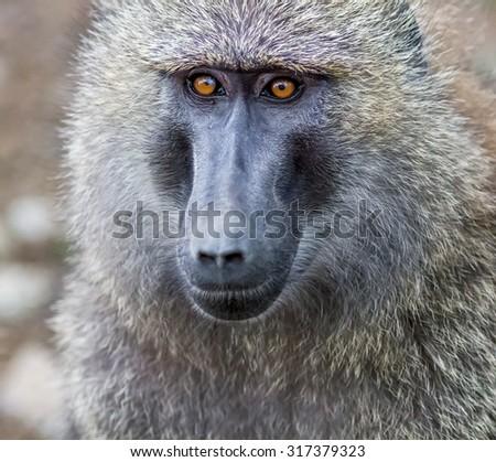 Baboon portrait in the Lake Nakuru National Park - Kenya, Eastern Africa - stock photo
