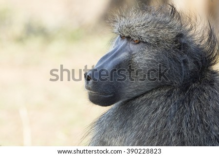 Baboon Portrait South Africa - stock photo