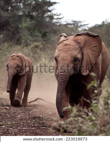 Baby African Elephant - stock photo