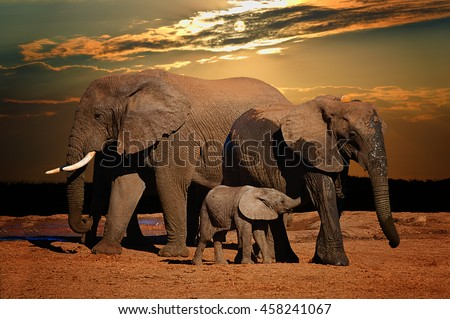Baby african elephant (Loxodonta africana) suckling with its parents in late afternoon, Addo Elephant National Park, South Africa - stock photo