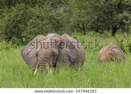 Baby african elephants walking in savannah in the Tarangire National Park, Tanzania  - stock photo