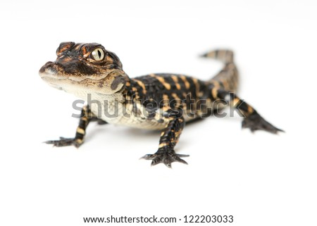 Baby Alligator - stock photo