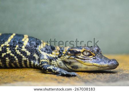 Baby alligator - stock photo